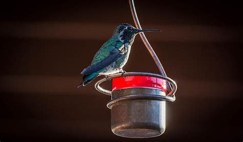 hummingbird on copper bee proof feeder by michael moriarty
