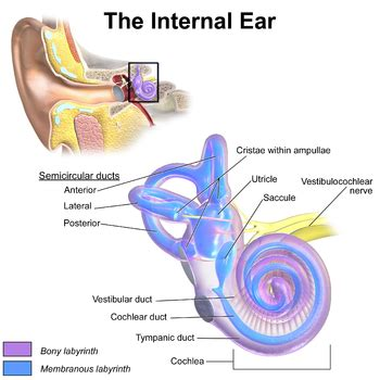 inner ear labyrinth apps directories