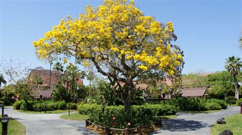tree shop in orlando florida bright yellow flowers fill south florida thanks to