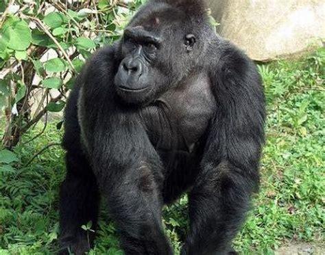 Eastern Lowland Gorilla | Wildlife | The Wildlife