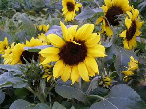 ballad sunflower helianthus