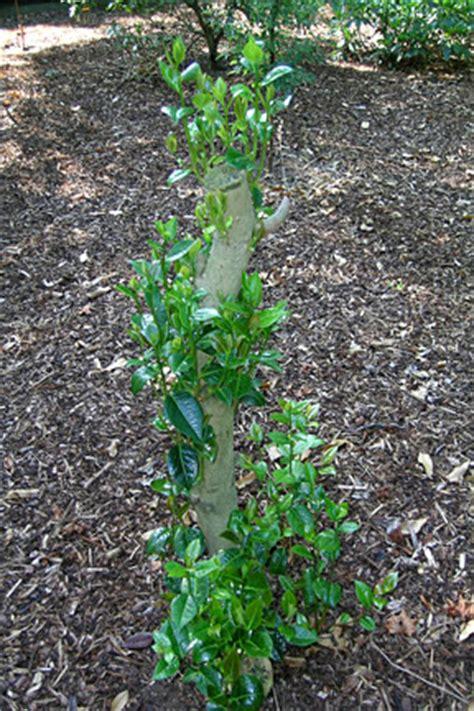 shrubs renovation rhs gardening - Renovation Pruning Of Flowering Shrubs