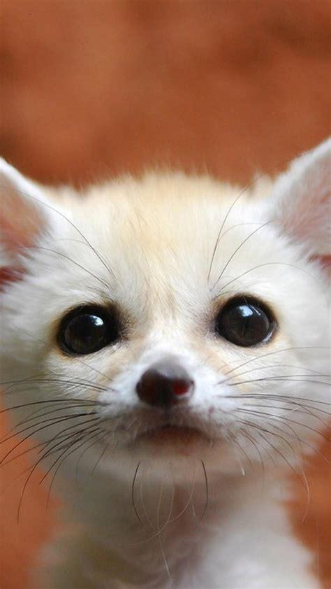 Baby Fennec Fox Wallpaper - baby foxes wallpaper wallpapersafari