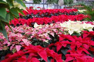 poinsettia colors poinsettias colors