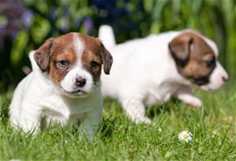what to feed a 2 month puppy how much to feed a puppy feeding routine purina