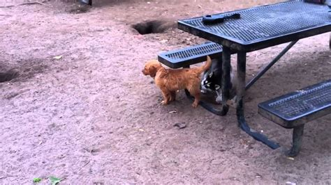 golden retriever wolf mix wolf hybrid puppy plays with golden retriever puppy