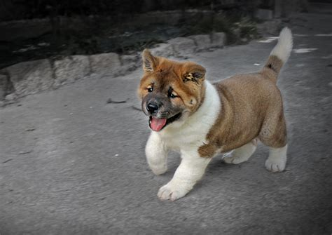 akita puppy dogs images akita puppy hd wallpaper and background photos 16896180