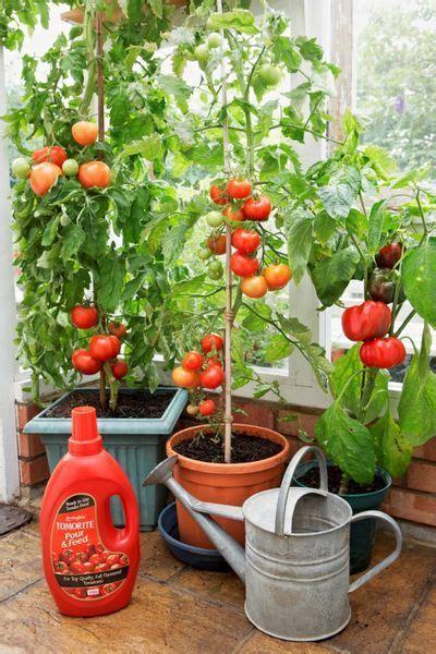 coltivare ortaggi in vaso cucina green coltivare pomodori in vaso o nell orto