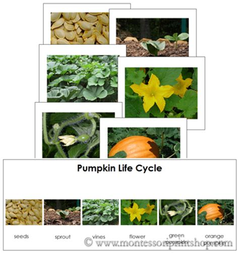 sequence pumpkin life cycle   search results   calendar 2015