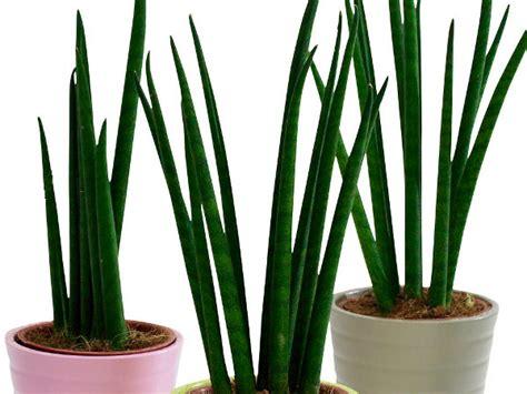 Pflanzen Ohne Licht by Zimmerpflanzen Die Wenig Licht Brauchen Bogenhanf