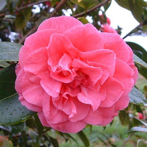 Bibit Bunga Allamanda Ungu camelia pink tumpuk belibibit