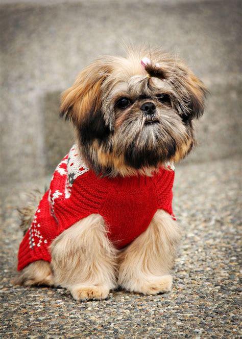 4 month shih tzu behavior 156 best shih tzu images on shih tzus animals and shih tzu puppy