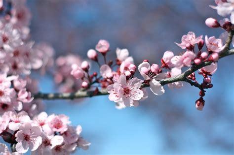eclecticdeb com fruitless plum tree garden pinterest