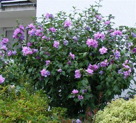 strauch garten winterhart hibiscus syriacus jk s pflanzenblog