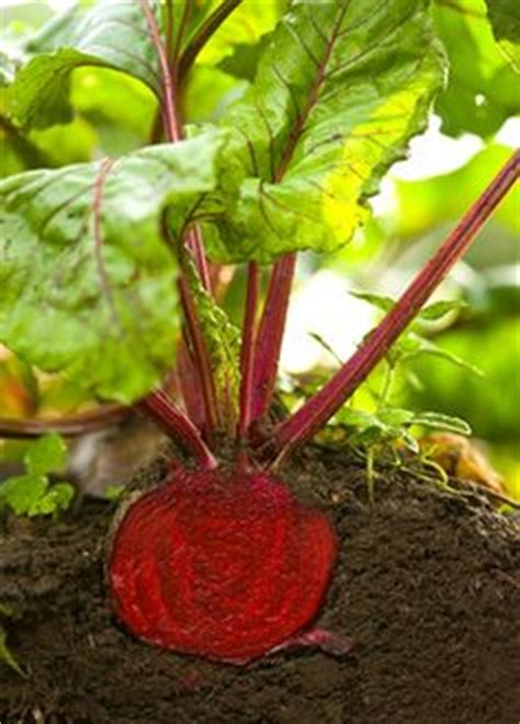 1000+ images about beets on pinterest | beet seeds