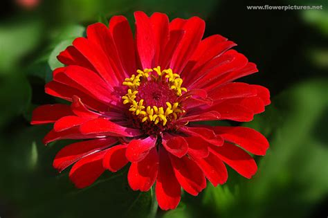 flower pictures zinnia flower www pixshark com images galleries with a