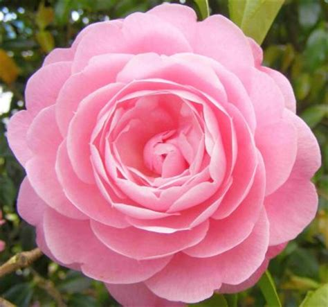 camellia pink perfection camellia japonica pink