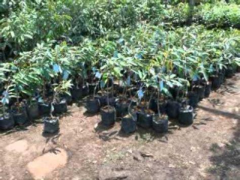 Jual Bibit Kefir Palangkaraya jual bibit durian di palangkaraya hub 08121605732