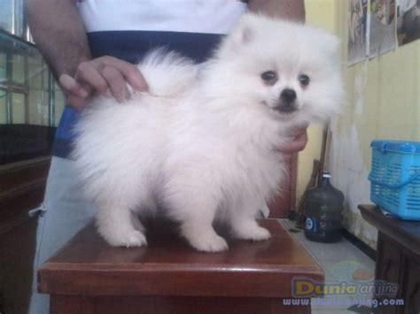 snow white pomeranian puppies sale dunia anjing jual anjing pomeranian for sale minipom snow white puppies
