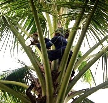 cara membuat gula merah dari nira kelapa