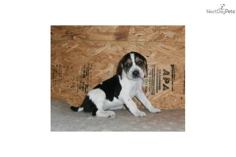 coonhound puppies for sale near me treeing walker coonhound puppy for sale near wichita kansas 375d1b41 3921