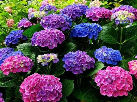 hydrangea change color how to change the color of hydrangea flowers