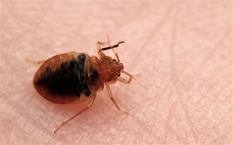 bed bug services clint miller exterminating pest control services clint
