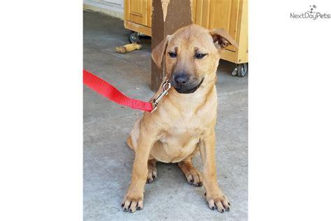 thai ridgeback puppies for sale thai ridgeback puppy for sale near los angeles california d7c7b444 8e71