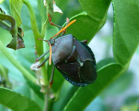 black bugs on tree bronze orange bug yates