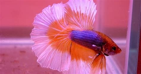 Makanan Ikan Hias Kecil cara budidaya lobster air tawar peluang usaha modal kecil