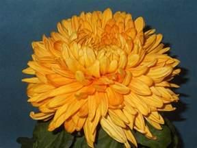 Chrysanthemum by Chrysanthemum Driverlayer Search Engine