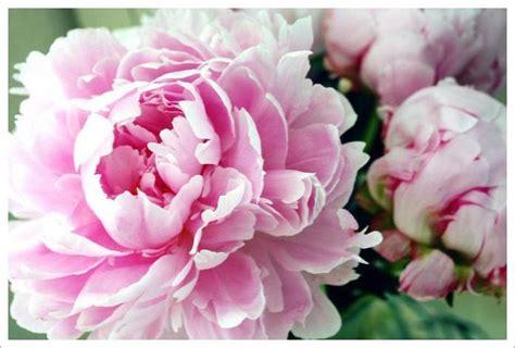 pink peonies image pink peonies flowers download