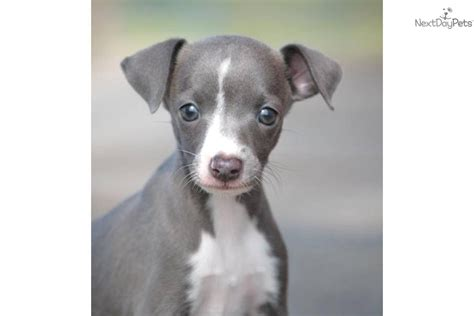 italian greyhound puppy for sale italian greyhound puppy for sale near texoma 3127e6d7 ede1
