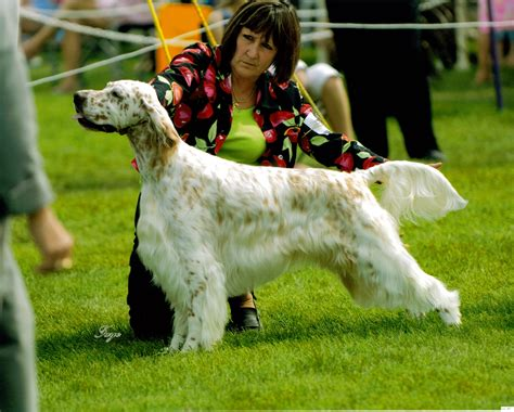 english setter dog show english setter dog show wallpapers and images wallpapers