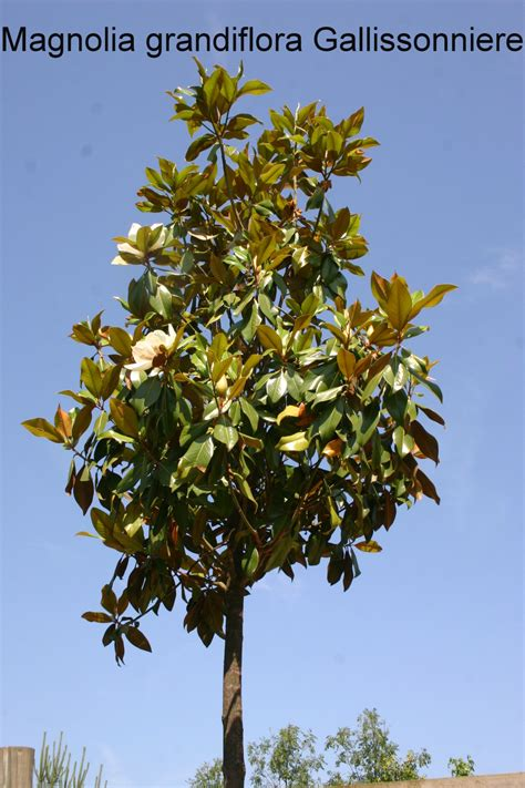 evergreen magnolia tree types 28 images magnolias michelias evergreen varieties warners