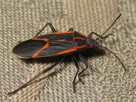 bug treer i have red black elm tree bugs in my yard and i want to