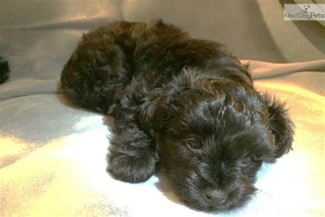 yorkie poo puppies for sale mn yorkiepoo yorkie poo puppy for sale near minneapolis st paul minnesota