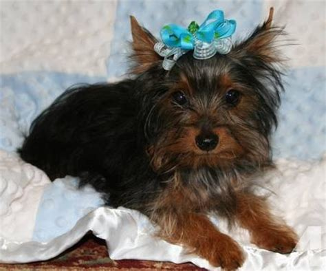 yorkie puppies for sale in san antonio tx yorkie in san antonio for sale breeds picture