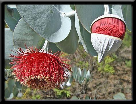 western australia australian native plants nursery autumn perth hills wildflowers of western australia