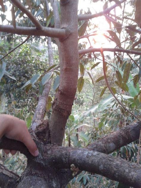 Bibit Durian Bawor Pekalongan waryo durian cara membuat pohon durian cepat berbuah