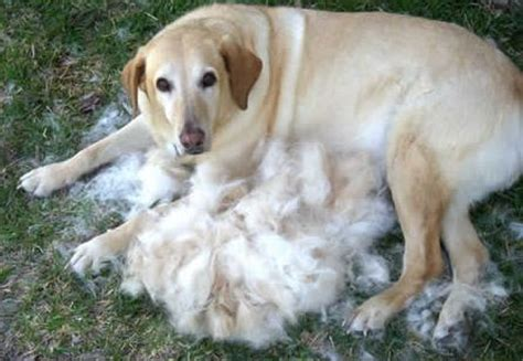 Why Do Animals Shed Their Fur by Your And Shedding Central Bark