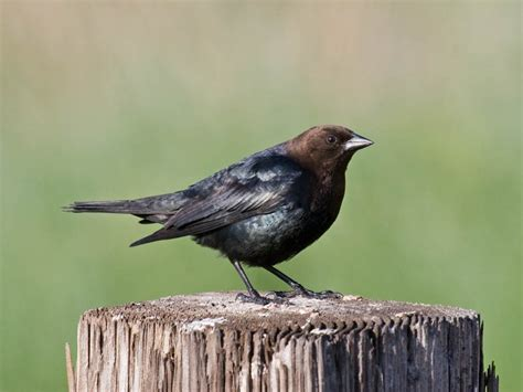 brown headed cowbird quot north america s most reviled native