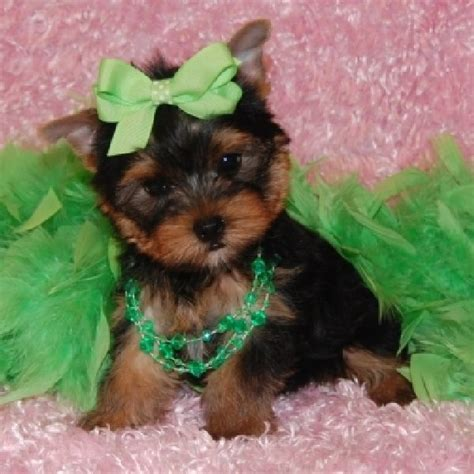 puppies yorkies animal facts yorkie puppies