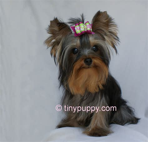 regular yorkie photo gallery of tinypuppy teacup yorkie puppies tinypuppy