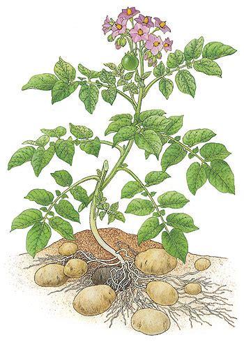 Wie Pflanze Ich Kartoffeln 4632 by Julius Antonio Bittner
