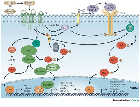 G protein-coupled receptors - Membrane ReceptorsMembrane ... G Protein Coupled Receptors Pathway