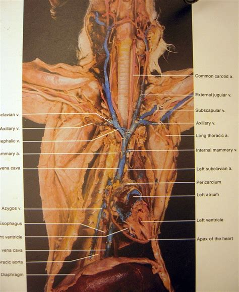 arteries in the neck diagram 50 best images about cat dissection on