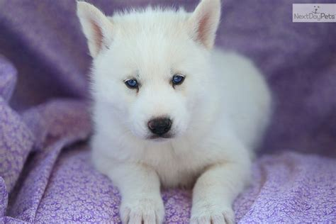 husky puppies for sale in orlando puppies orlando siberian husky puppy for sale in orlando fl quotes