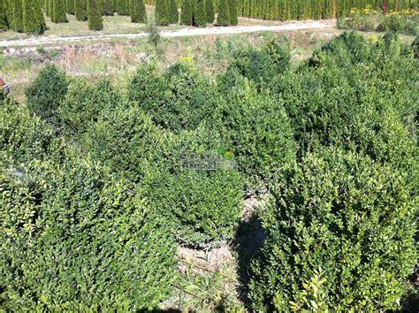 Buchsbaum Pflanzen Abstand 3996 by Buchsbaum Pflanzen Abstand Buchsbaum Pflanzen Im Sp