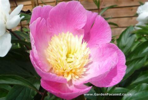 expert advice  growing  caring  peonies